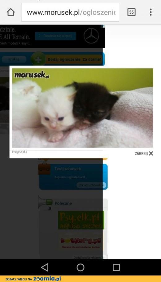 Koty perskie uwaga pseudo hodowla proszę o przeczytanie,  śląskie Dąbrowa Górnicza