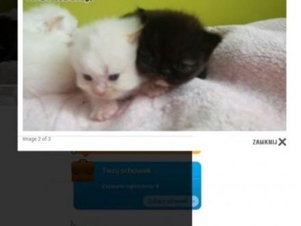Koty perskie uwaga pseudo hodowla proszę o przeczytanie   śląskie Dąbrowa Górnicza
