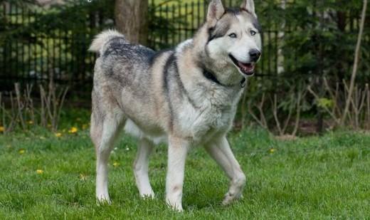 KUSKO- energiczny  inteligentny pies husky do adopcji   kujawsko-pomorskie Bydgoszcz