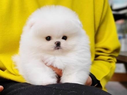 Mądry Pomeranian Szczenięta