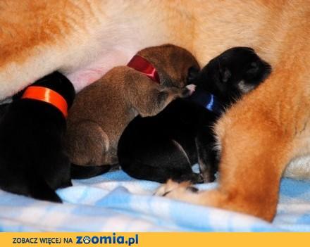 Shiba Inu Śliczne szczeniaczki