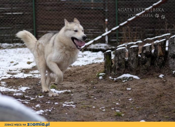 Kaskar duży piękny Siberian do adopcji