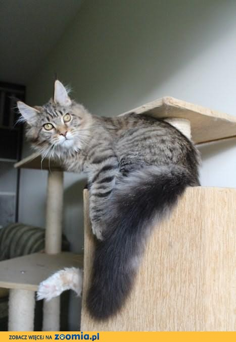 Kocurek Maine Coon (rodowód FPL) - do odbioru