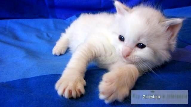 śliczne kocięta rasy Ragdoll