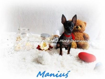 Piesek MANIUŚ Pinczer miniaturowy (ratlerek)+Rodowód +Wyprawka