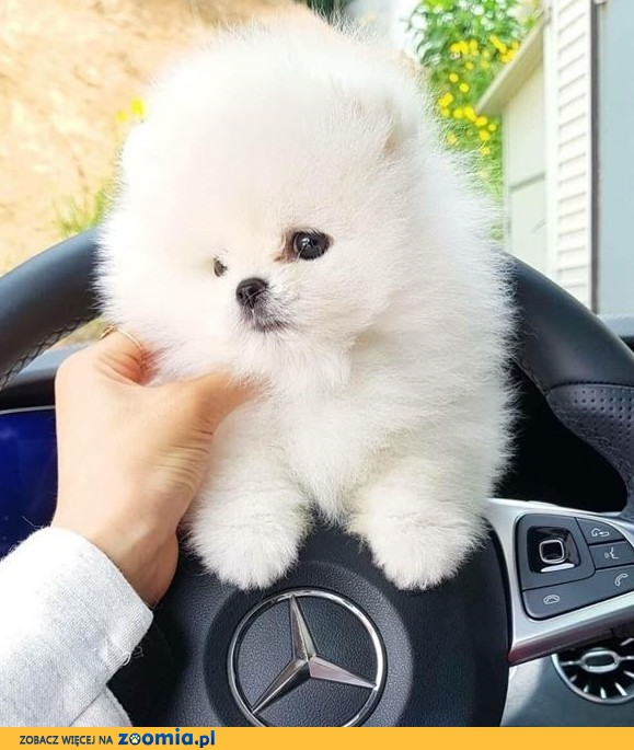 Suczka Szpic miniaturowy Pomeranian BOO z RODOWODEM.!