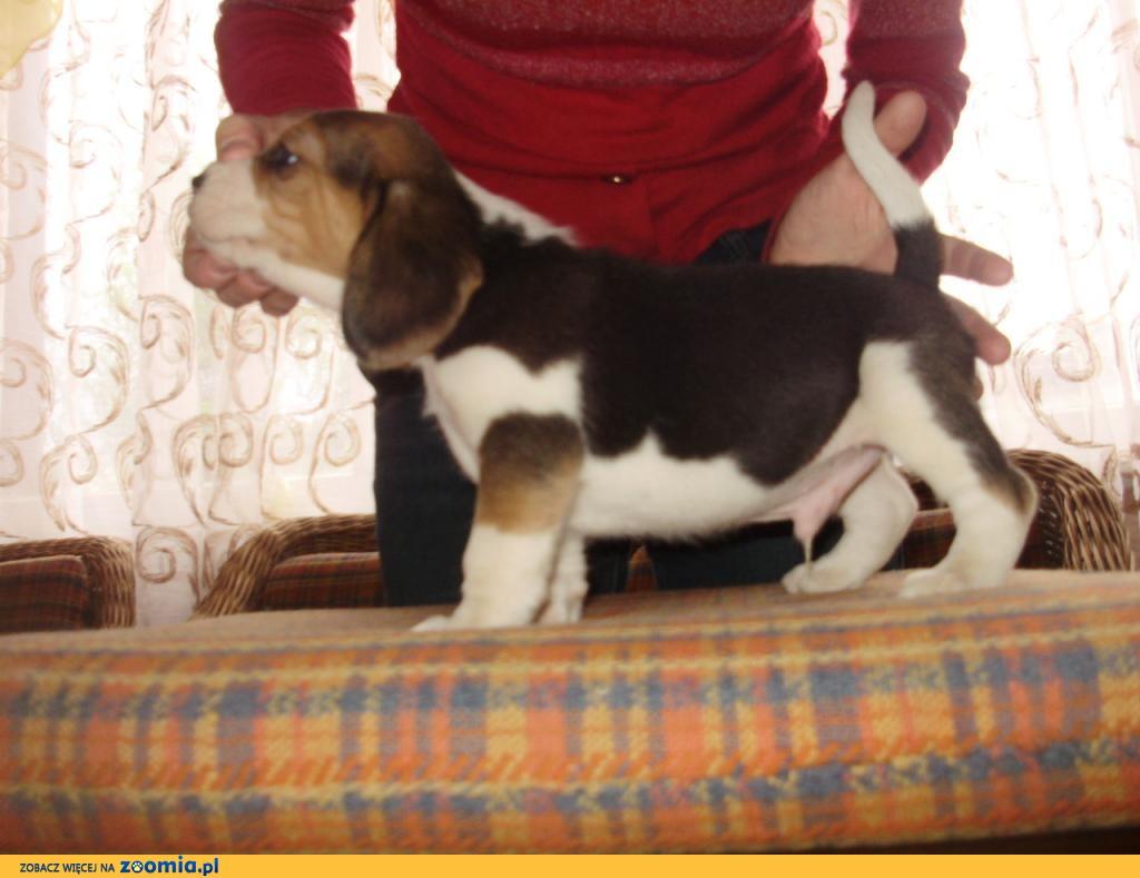 Beagle z rodowodem FCI_ZKwP_Eliterne pochodzenie