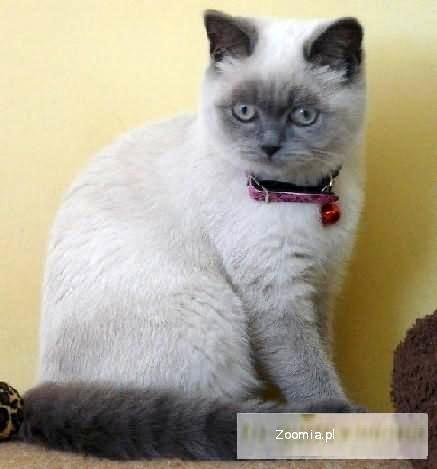 Kocięta Brytyjskie Wyprawka Kot Brytyjski W Wa Brytyjski Koty