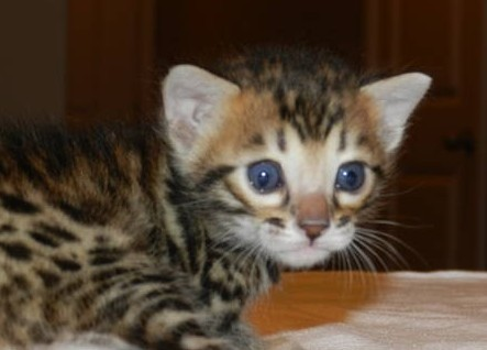 Koty Bengalskie kocięta