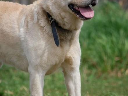 Nero - biszkoptowy labrador do adopcji