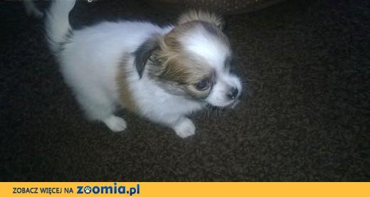 Chihuahua- słodkie maluchy!,  kujawsko-pomorskie Bydgoszcz