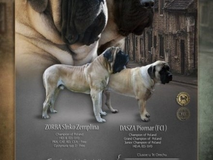 Mastif angielski szczenięta   mazowieckie Sochaczew