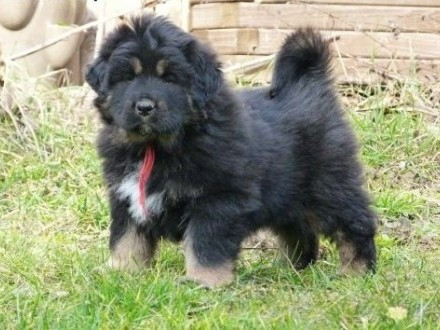 Mastif tybetański   małopolskie Nowy Targ