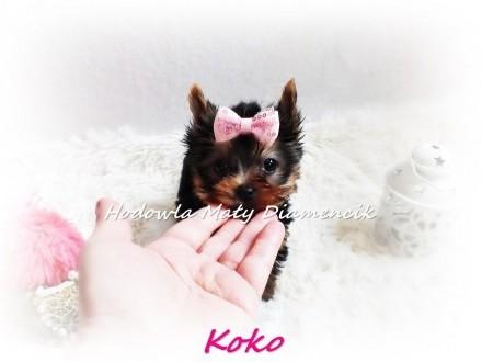 Yorkshire Terrier Miniaturka suczka KOKO MINI XS szczeniaczek +Wyprawka