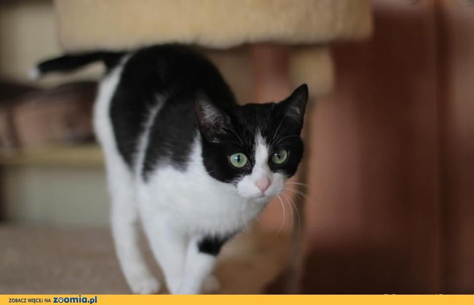 Śliczna, nakolankowa koteczka szuka domu