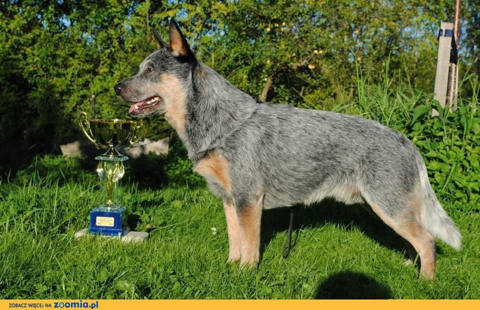 Wszystkie nowe Australian Cattle Dog « Oddam psa « Adopcje « Archiwum :: Zoomia pl PX36
