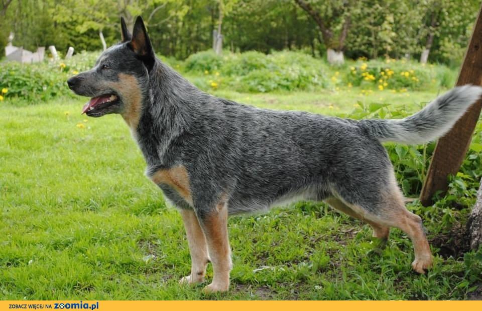 Ogromny Australian Cattle Dog « Oddam psa « Adopcje « Archiwum :: Zoomia pl RW12