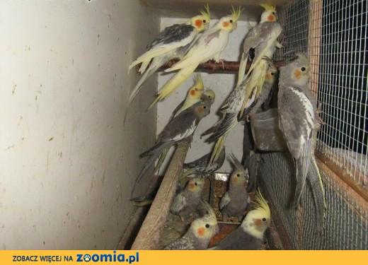 sprzedam nimfy białogłowe,  Papugi inne cała Polska