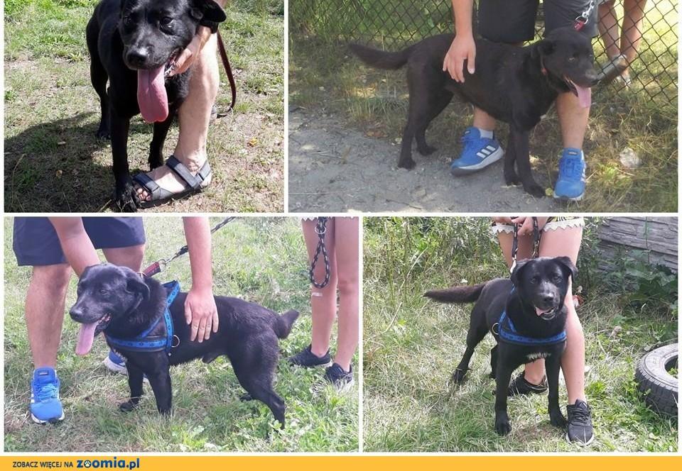 Stachu-przyjacielski,pozytywny,energiczny psiak mix labrador,  mazowieckie Warszawa