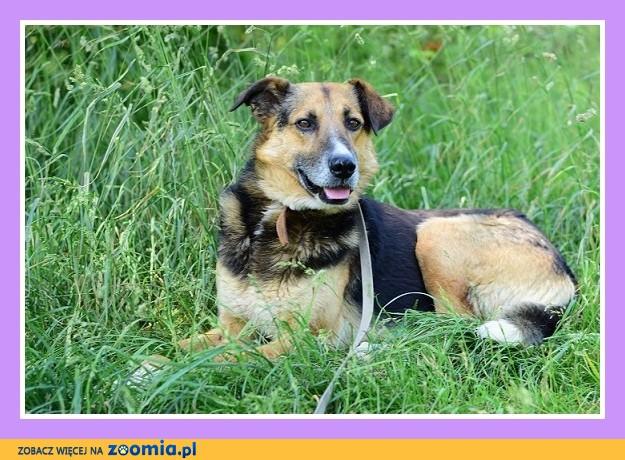30 kg,średnio energiczny,spokojny, łagodny,grzeczny pies BUDYŃ_Adopcja