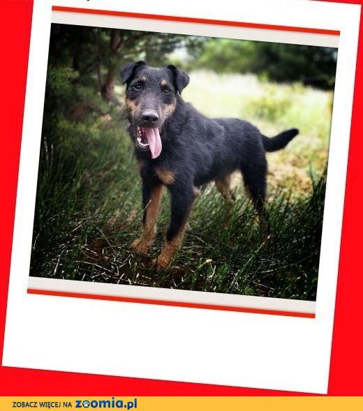 Jagdterier mix,HUNTERi,przyjazny pies,szczepiony.Adopcja,  śląskie Katowice