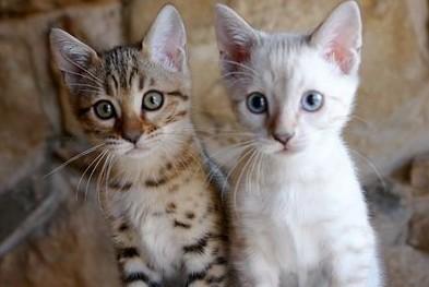kocięta Bengalskie