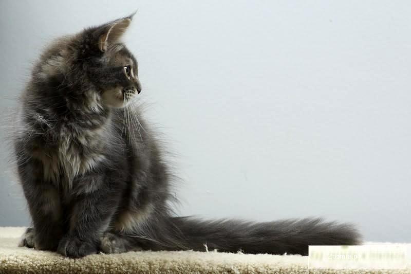 Niebieski klasyk, spokojny kociaczek.