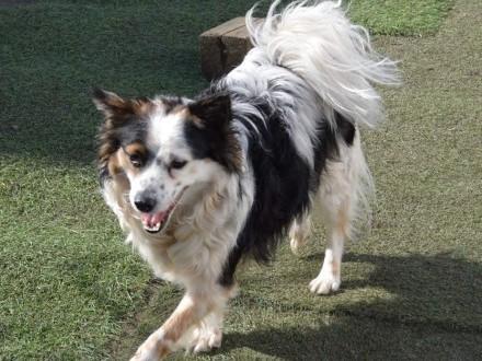 Bezik - przepiękny kudłaty MALUSZEK  nakolankowy psiak adopcja