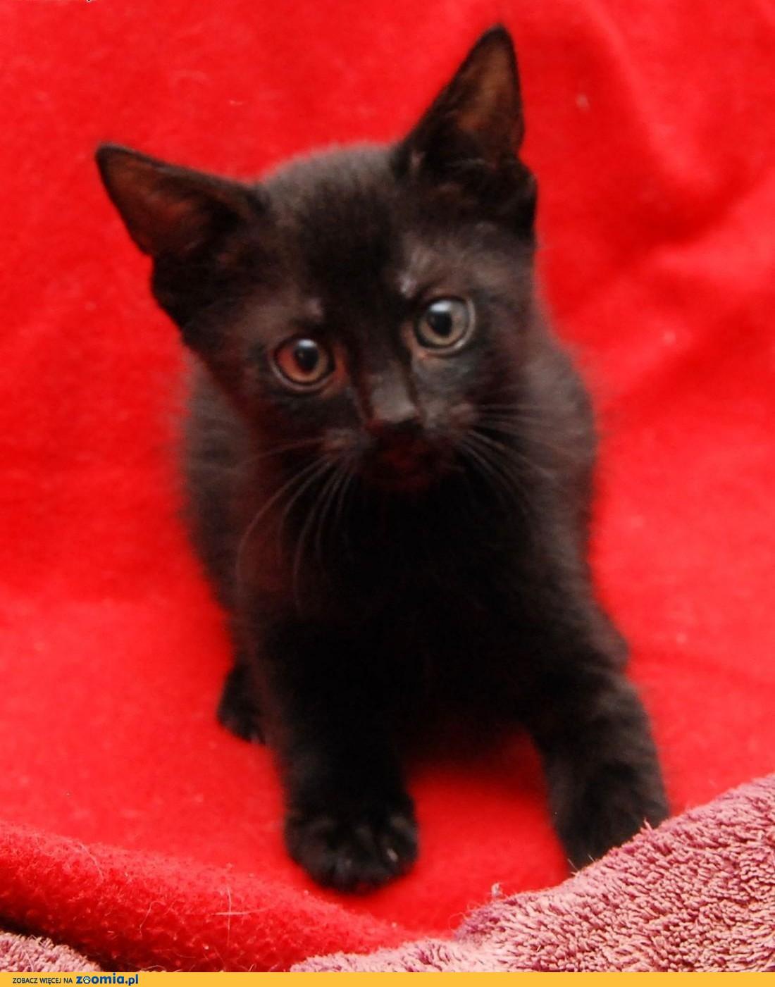 Kociak czarny cudny Fosco czeka na kochający dom!,  wielkopolskie Poznań