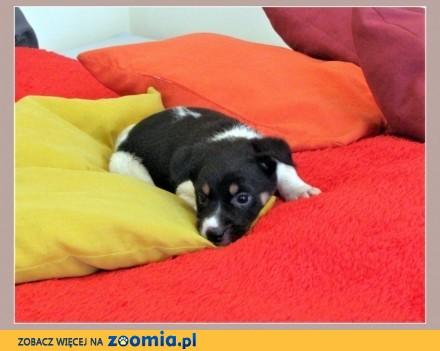 6 tygodniowe  odrobaczone szczeniaki piesek i suczki_Adopcja