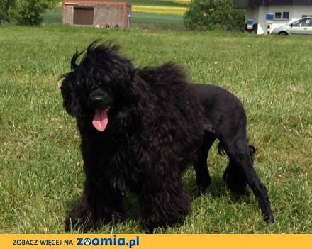 Portugalski pies dowodny - szczenięta