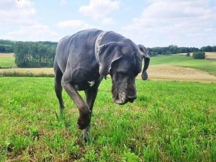 Tajson dog niemiecki  do adopcji   pomorskie Bytów
