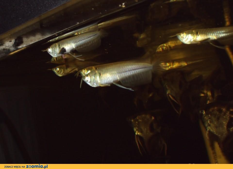 Arowana srebrna Osteoglossum bicirrhosum 12cm Frontosa Pruszków