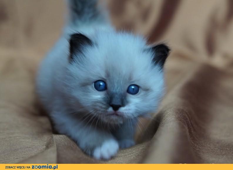 Kot Neva Masquarade Ogłoszenia Z Hodowli Koty Neva Masquarade