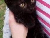 Sprzedam kotka syjamskiego i czarnego - mieszańce,  dolnośląskie Wałbrzych