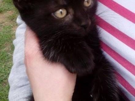Sprzedam kotka syjamskiego i czarnego - mieszańce   dolnośląskie Wałbrzych