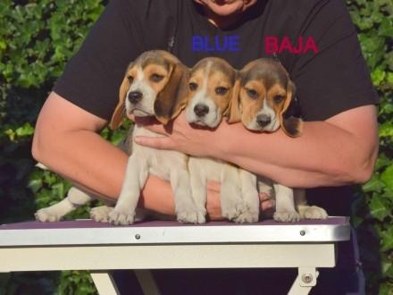 Beagle piękne szczenięta po Chionie  okolice Poznania
