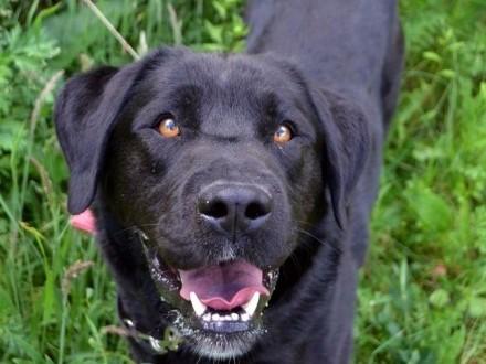 Czarny labrador Bąbel - kochane  radosne psisko :)