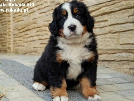 Berneński Pies Pasterski - Szczeniaczki z rodowodem ZKwP/FCI