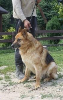 Wesoły  energiczny pies w typie owczarka niemieckiego