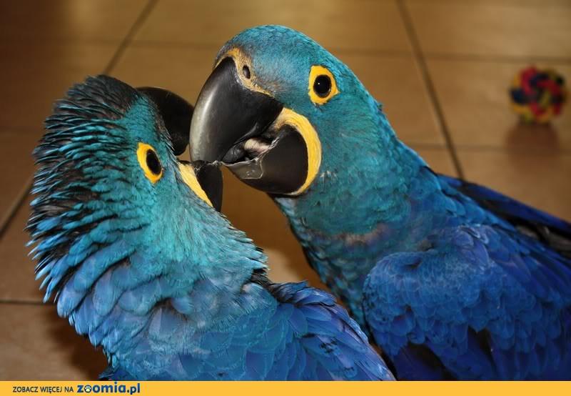 Para Jacek ara papugi Sprzedaż