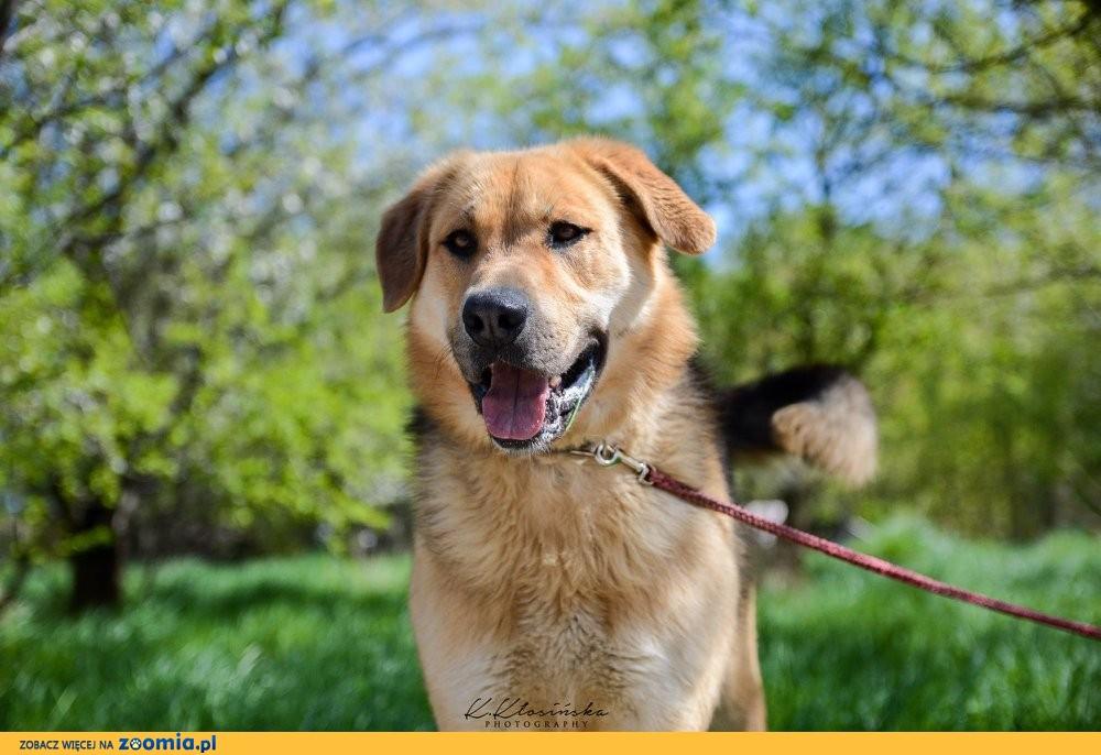 Beethoven, młody, duży pies szuka kochającego domu!