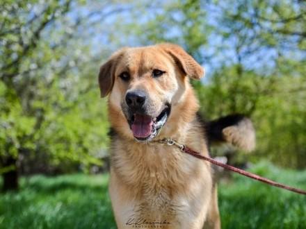 Beethoven  młody  duży pies szuka kochającego domu!