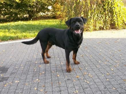 Iwan – towarzyski rottweiler do adopcji