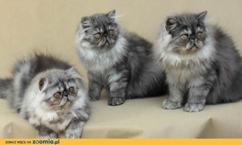 Piękne kocięta perskie - odmiana srebrna