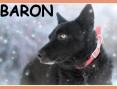 18 kg, 2 lata, przyjazny,towarzyski piesek BARON_Adopcja