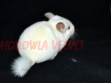 Szynszyla szynszyl samiec biały pink white