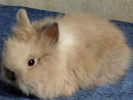 Króliczek królik karzełek TEDDY! Puchata samiczka!