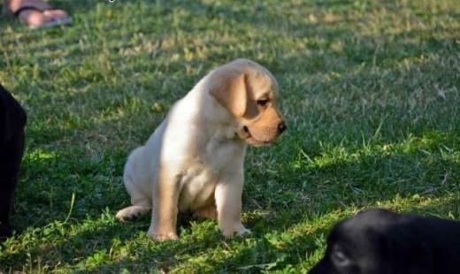 Labrador szczenięta   Labrador retriever cała Polska