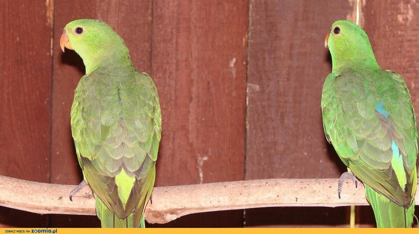 Papuga Czerwonosrzydła
